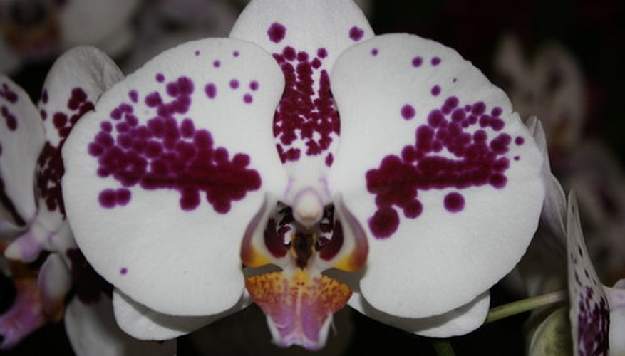 Orchids grow in the mountainous and subtropical regions of Asia.