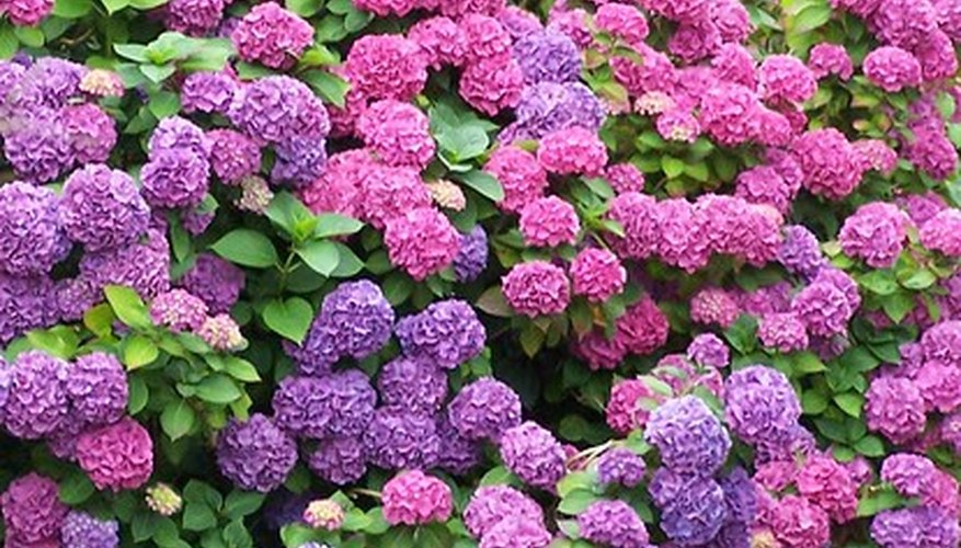 Because of their bright coloring, hydrangeas are grown as a specimen plant.