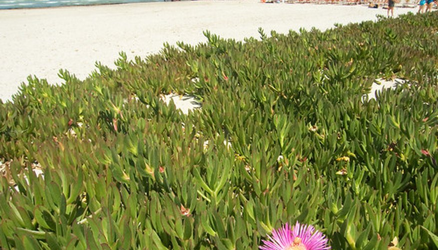 Ice plant can take over a beach.