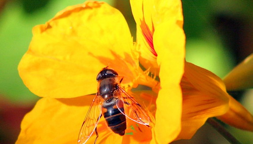 Nasturtiums attract pollinators while deterring garden pests.