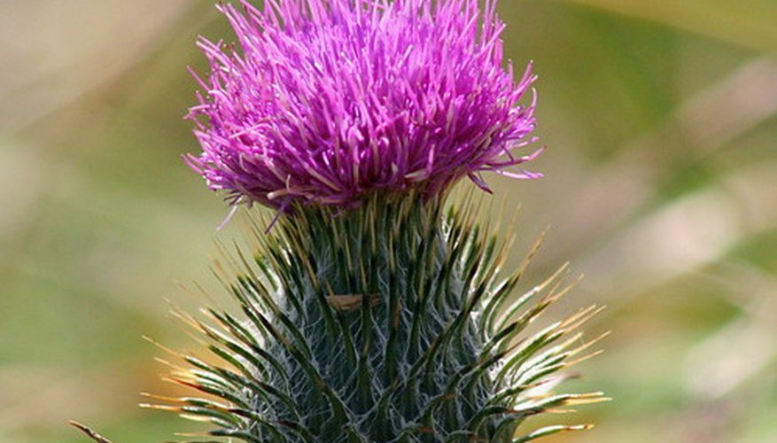 The prickly thistle might seem more like a cactus than a member of the aster flower family.