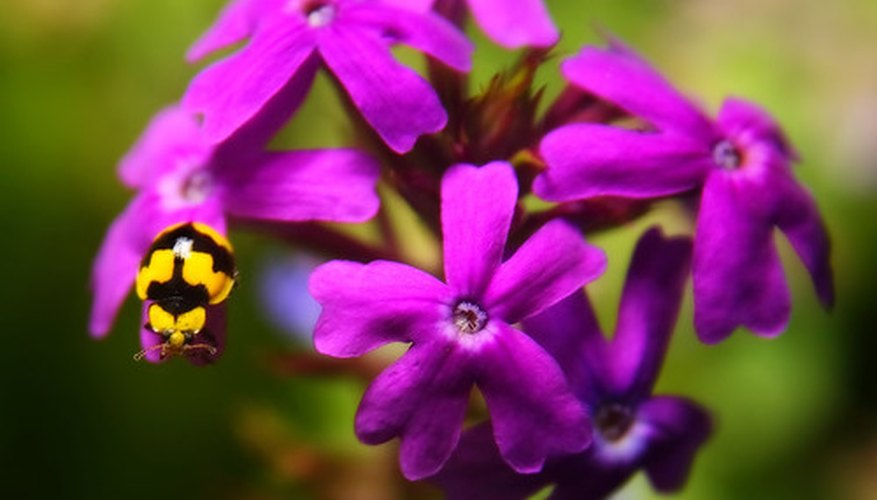 Verbena blooms are bright, adding a colorful splash to the home garden.