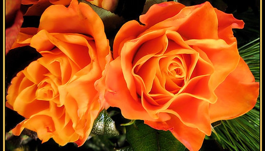 Meaning of orange roses garden guides for The meaning of orange roses