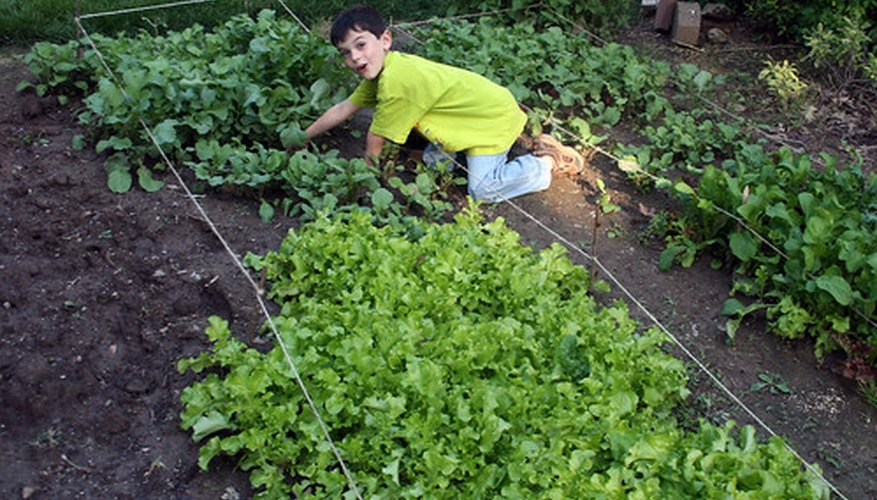 Lots of vegetables can be planted in the fall, including lettuce.