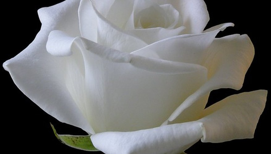 White roses symbolize innocence or purity.