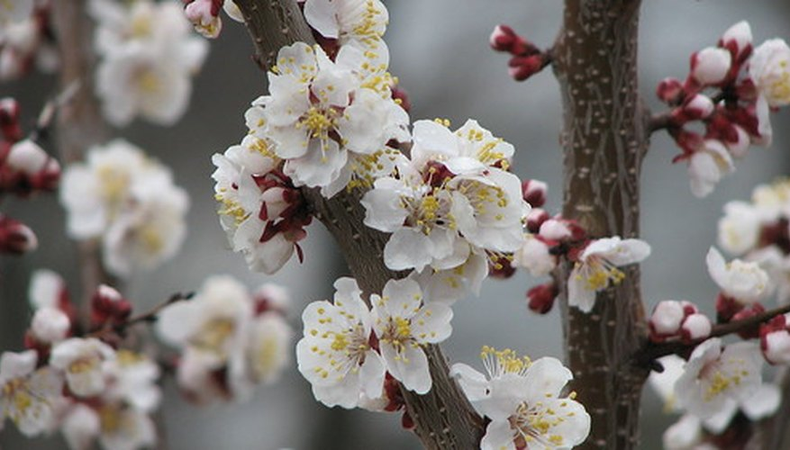 Spring Pear Blooms