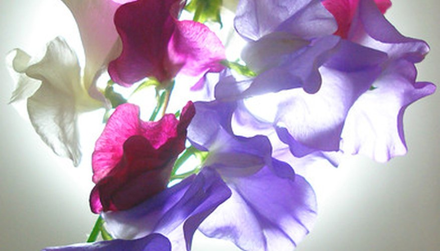 Sweet peas brighten up the garden.