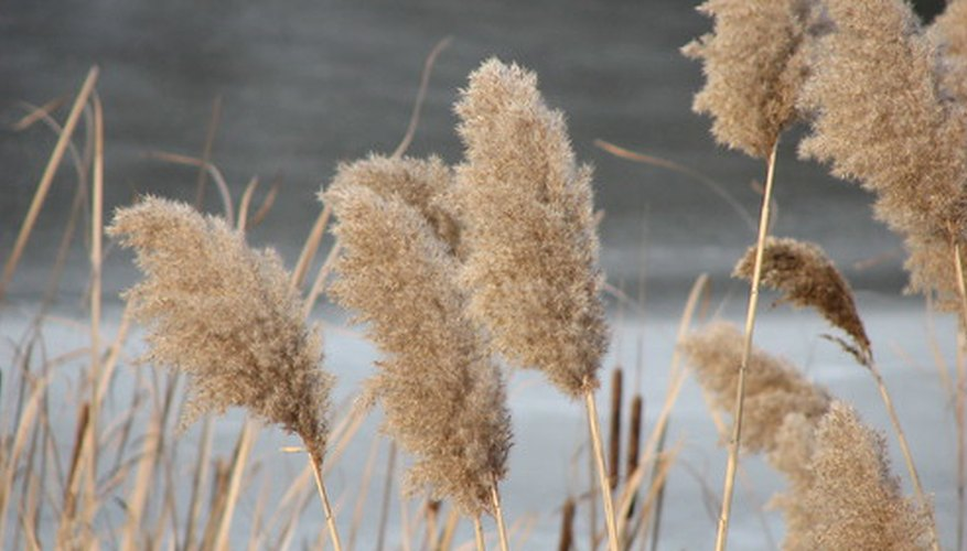 Cattail plants are reed plants that thrive in bogs.