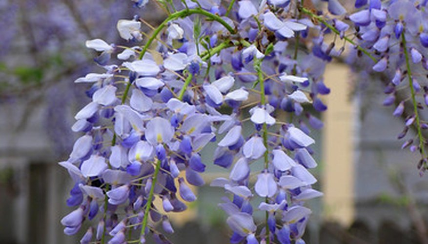 Wisteria displays clusters of flowers.