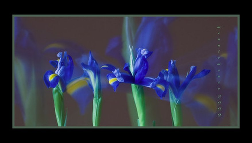 Irises grow worldwide.