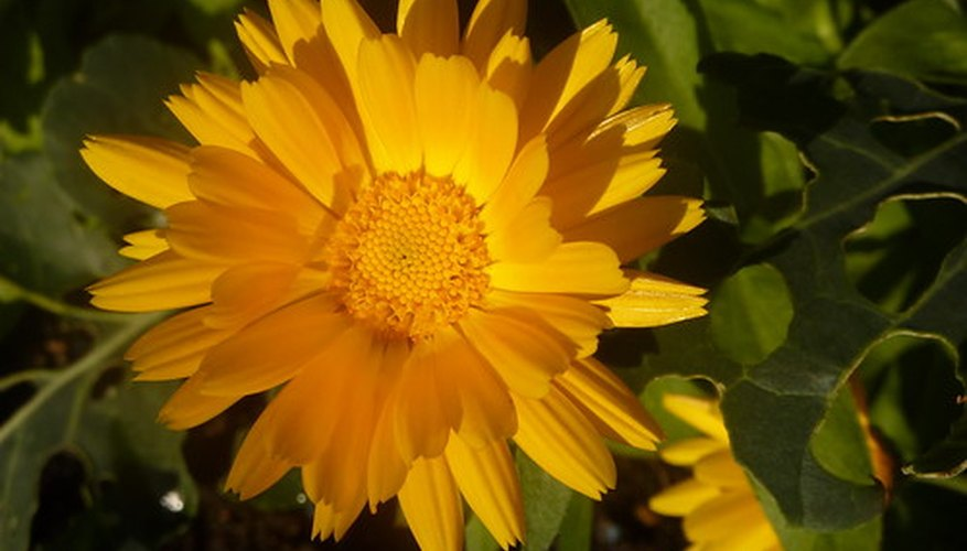 Calendula - Member of the Marigold Family