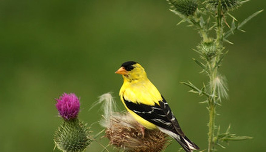 A goldfinch enjoys a perch among thistles.