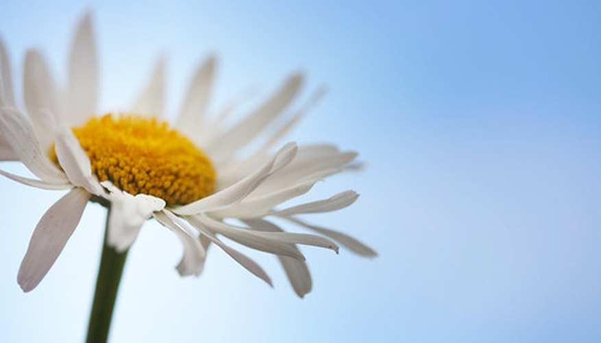 Pyrethrum daisies are more than just beautiful flowers.