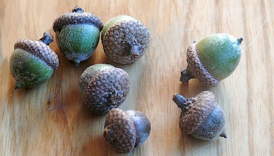 Acorns form when the female oak blossoms are pollinated in the wind.