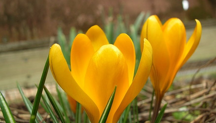 Crocus are among the first flowers to emerge in spring.
