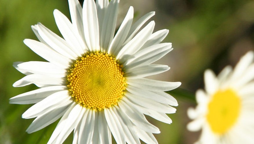White petals and a yellow center characterize the traditional daisy.