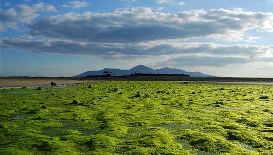 A sea of seaweed, a type of algae
