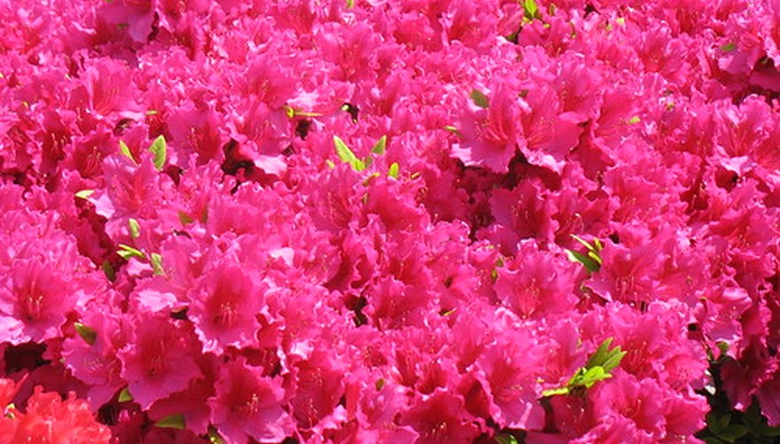 Azaleas provide vivid outdoor color in regions with cold to cool winter climates.