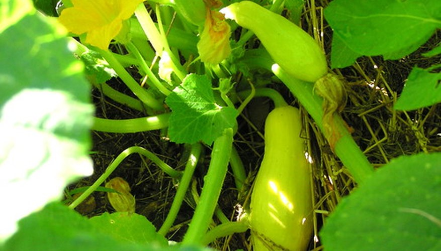 The life cycle of a squash plant ends once the fruit has matured and cold weather sets in.