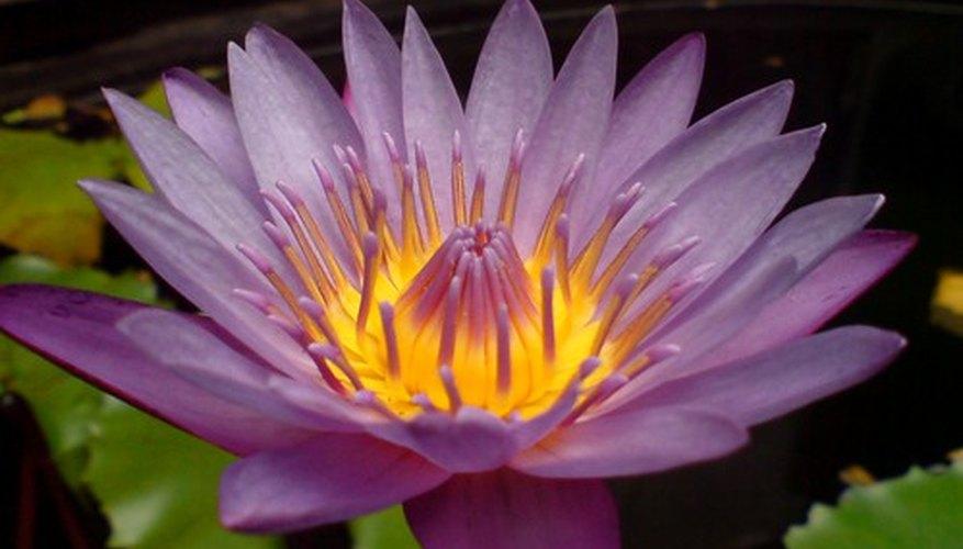 Cuál Es El Significado De Una Flor De Loto Morada Geniolandia