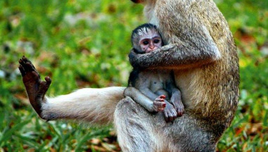 Las características físicas distinguen a los monos de los chimpancés.