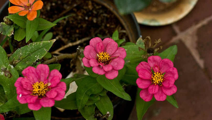 Zinnias are desired for their bright colors.