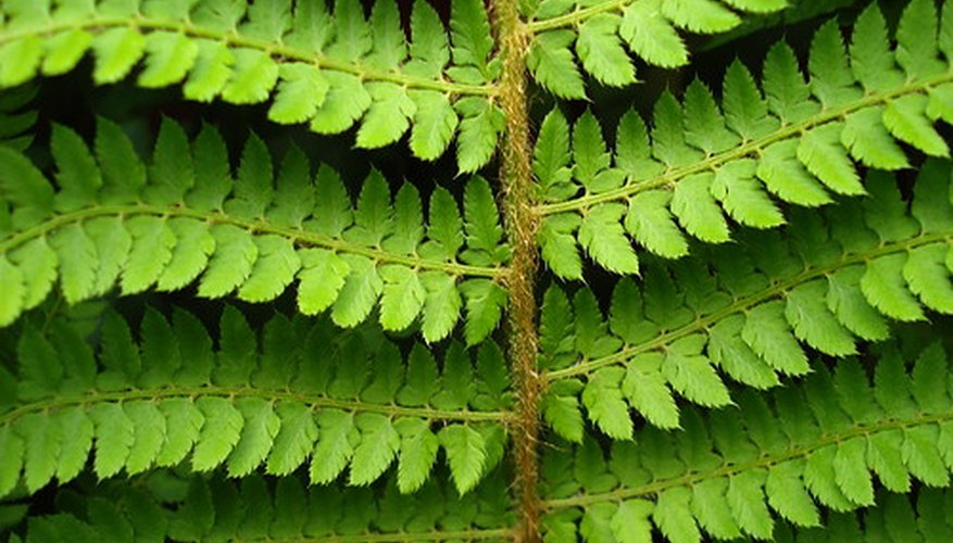 Dryopteris are Wood Ferns