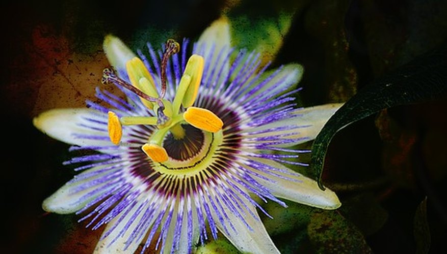 The passion flower is a symbol of Christianity.