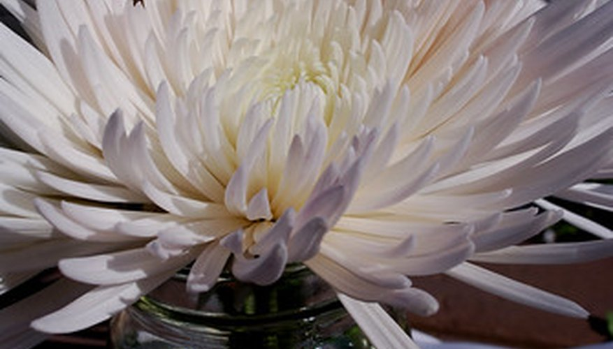 A white spider mum's petals resemble many white spider legs.