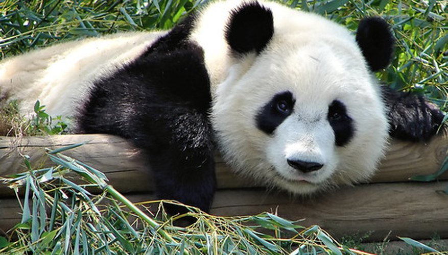 Bamboo is the primary food of pandas.