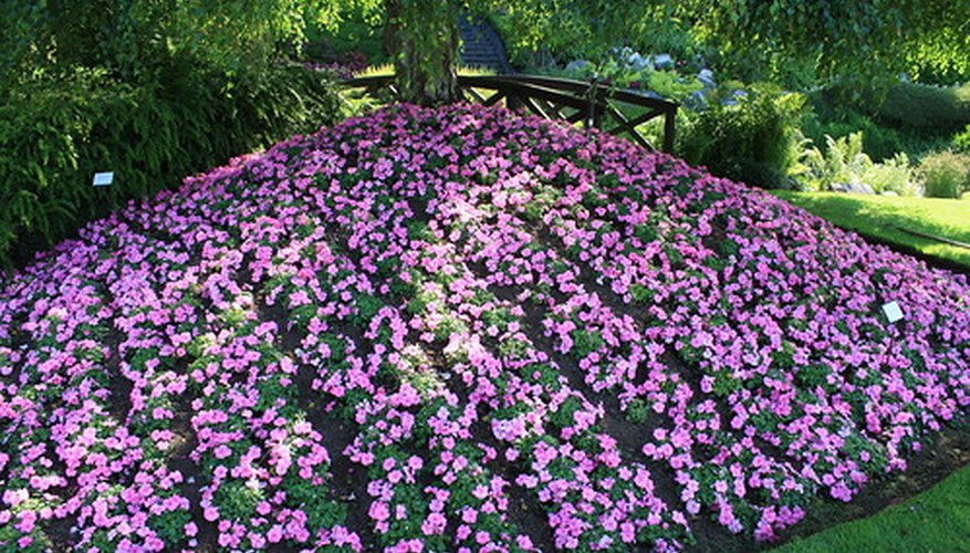 Pink impatiens blooming in good health.