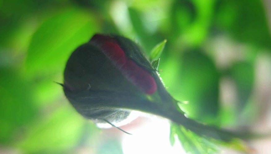 Rose bud preparing to open.