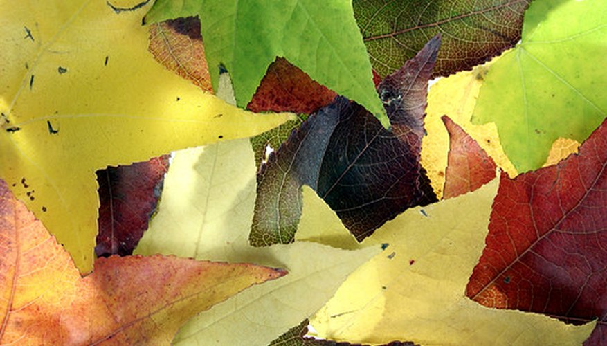 Sweetgum foliage is star-shaped and in autumn becomes tones of  yellow, red and purple.