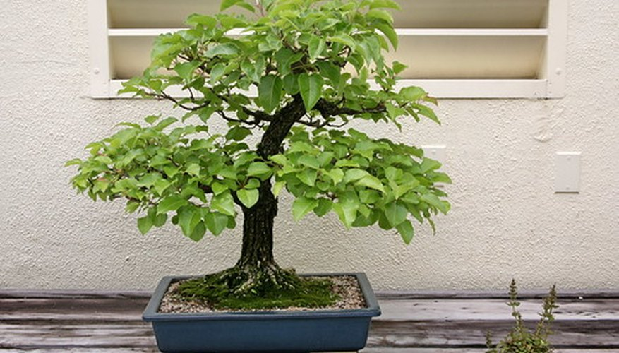 The Oriental or Callery pear is native to many parts of Asia and is valued for its trainability and flexibility.