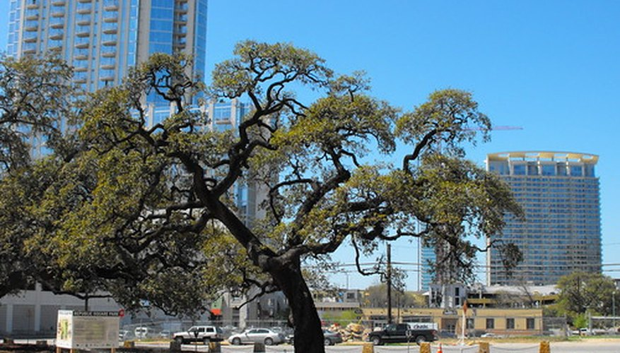The live oak tree is an evergreen.