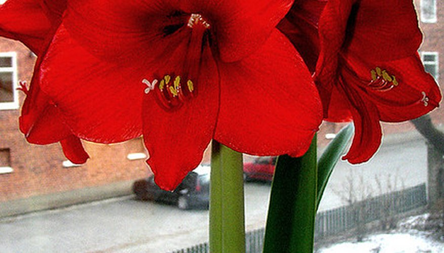 Amaryllis bloom around the end of the year.