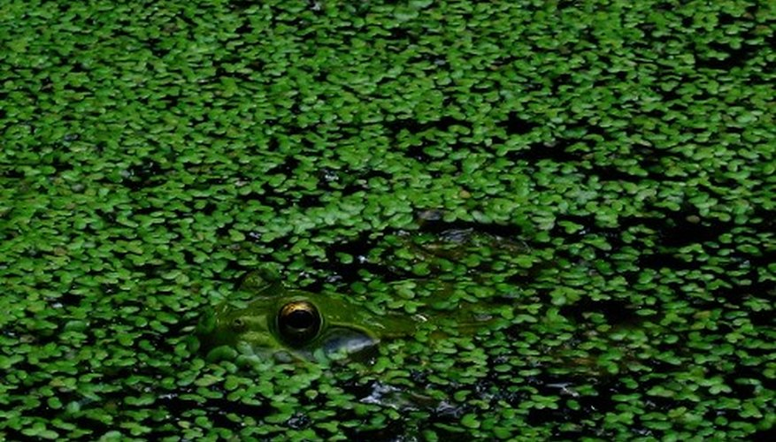 Duckweed is considered invasive.