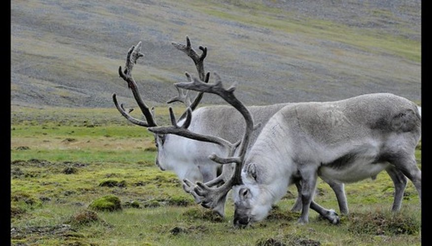 Caribou are one of the significant large mammals found on Arctic tundras.
