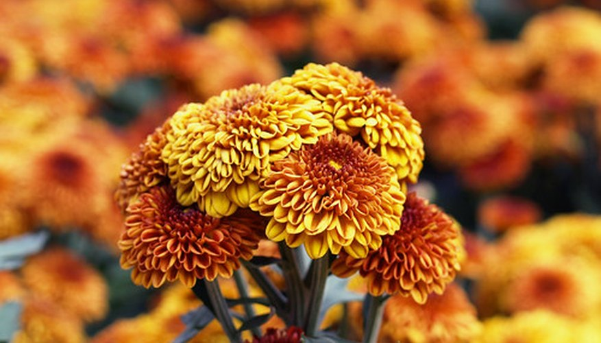 Chrysanthemum tea has many healing benefits.