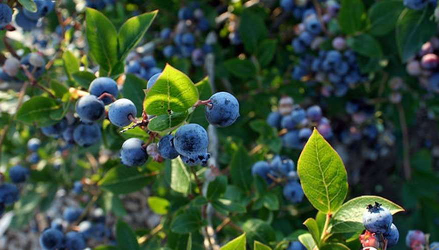 WIld blueberries are common in the United States, and easy to identify.