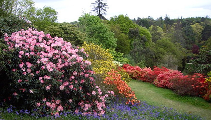 Rhododendrons in the landscape.