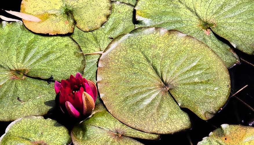 Different pond plants thrive at different water depths.