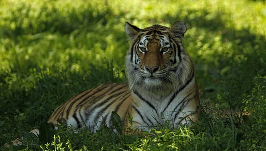 What Kind Of Ecosystem Do Tigers Live In Sciencing