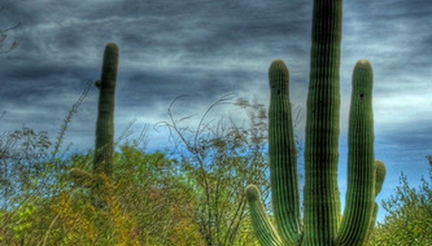 Saguaro cacti are the largest type of cacti and can reach a height of 55 feet.