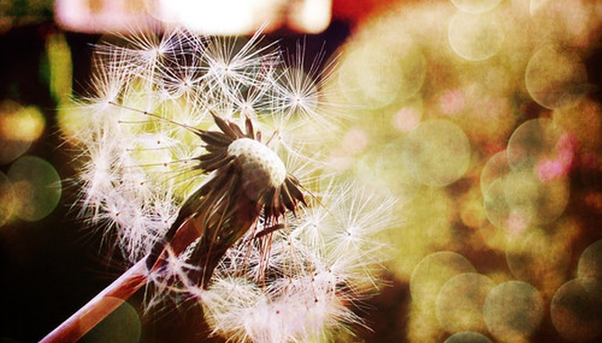 One dandelion can be the parent of hundreds.