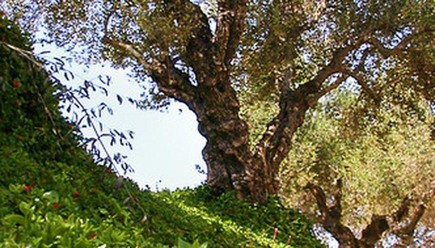 Menu For Olive Garden: Olive Tree Problems