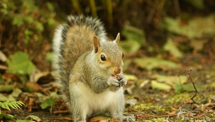 Eastern gray squirrel.