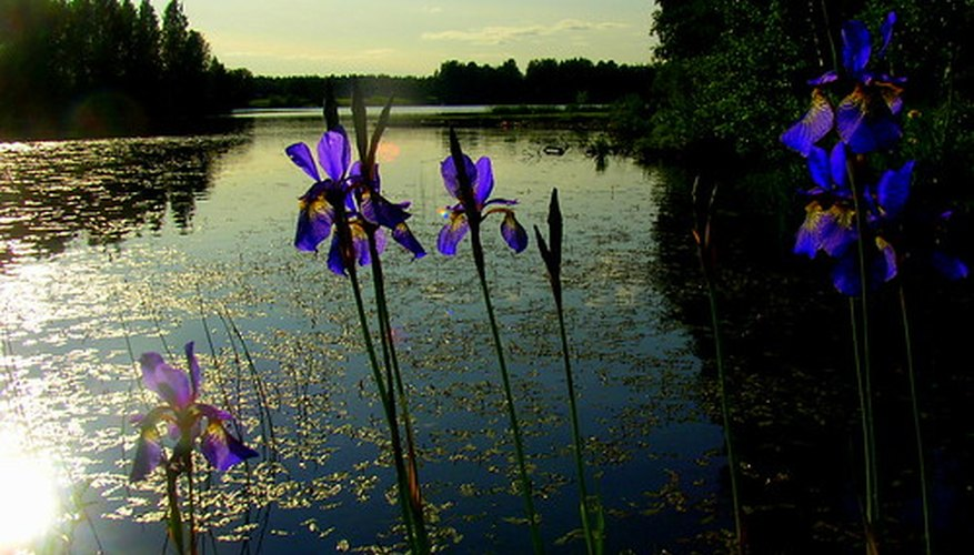 Irises provide vertical interest in a bog or water garden.