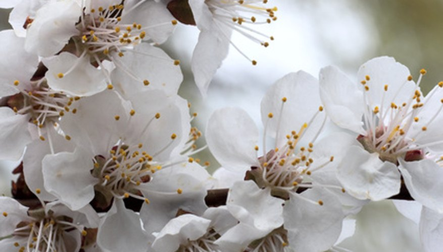 Cherry tree blossoms can be white or pink.