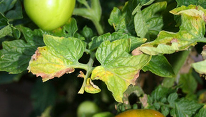 Indeterminate varieties of tomato plants can grow vertically if you tie them to a support.